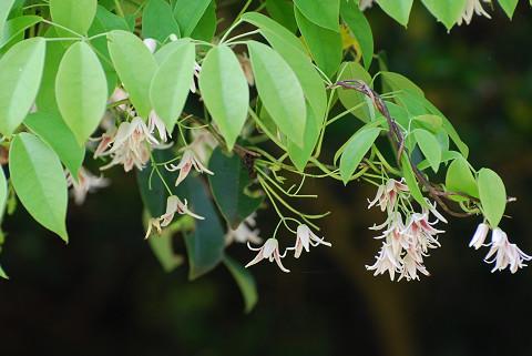 ムベの花は