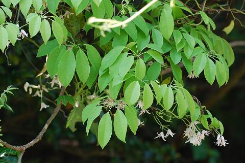 ムベの7枚の葉