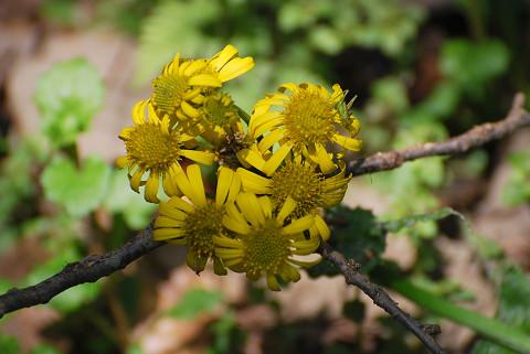 サワオグルマの花は
