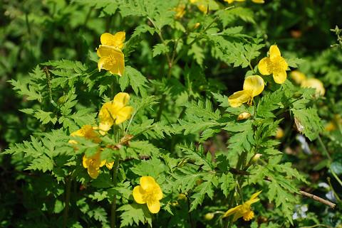 シナノキンバイの黄色い花
