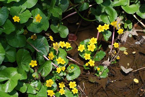 リュウキンカの黄色い花