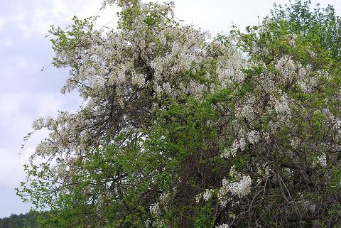 白いフジの花が