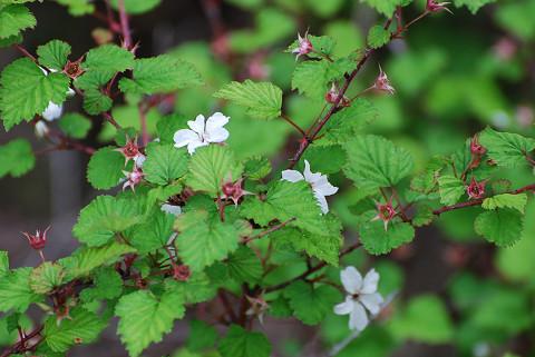 ニガイチゴに白い花
