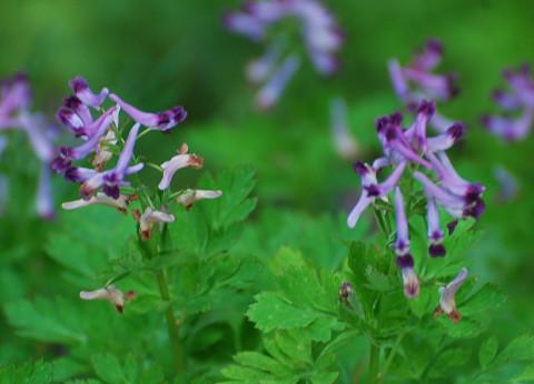 ムラサキケマンの花は