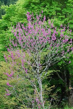 ハナズオウの花がきれい1
