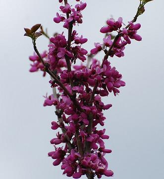 ハナズオウの花がきれい2