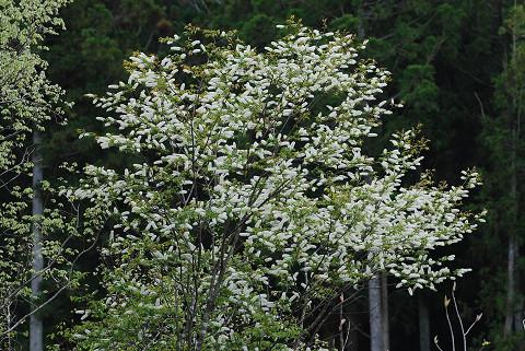 ウワミズザクラの花がいっぱい