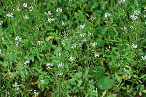 タネツケバナの白い花