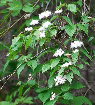 コバノガマズミの白い花
