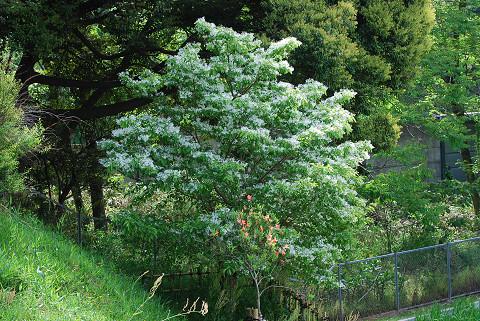 ヒトツバタゴ白い花が