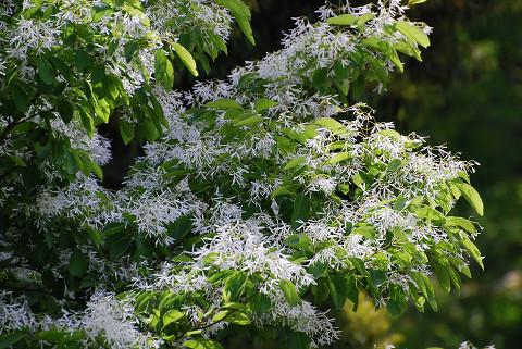 ヒトツバタゴの花は