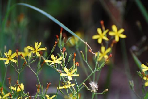 ニガナの花は