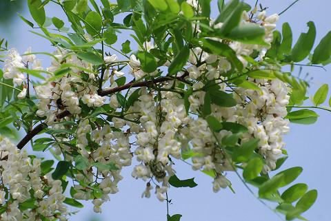 ハリエンジュの花が