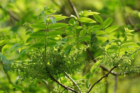ヤマハゼに大きな花序が