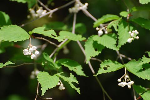 オトコヨウゾメの白い花