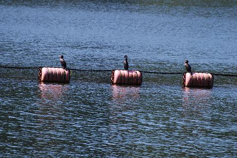 三河湖にカワウが