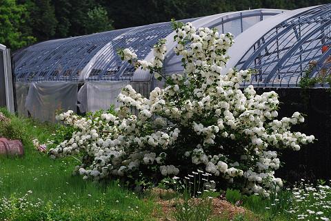 オオデマリの花が