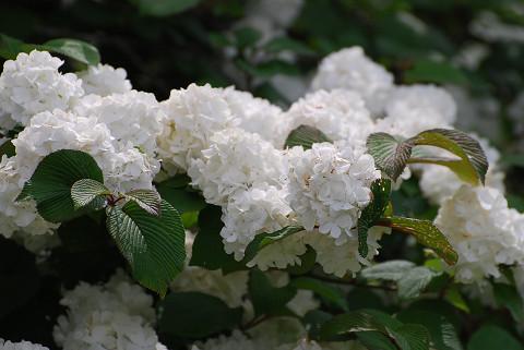 オオデマリの花をアップ