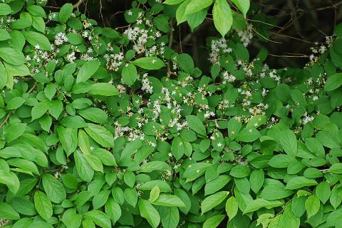 サワフタギの花と葉