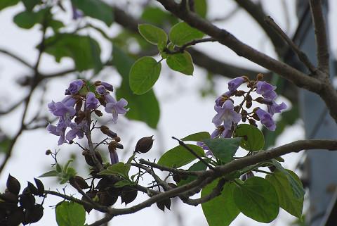 キリの花は