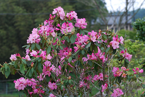 シャクナゲの花が