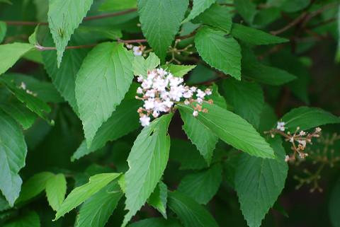 オトコヨウゾメの花は