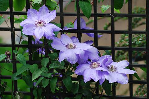 テッセンの花が美しい