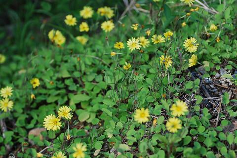 ジシバリの花がきれい