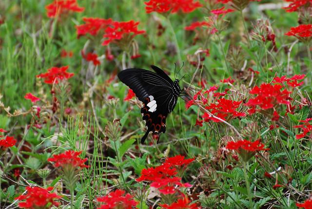 モンキアゲハが美しい
