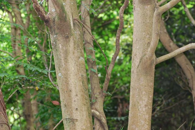 カナメモチの木肌