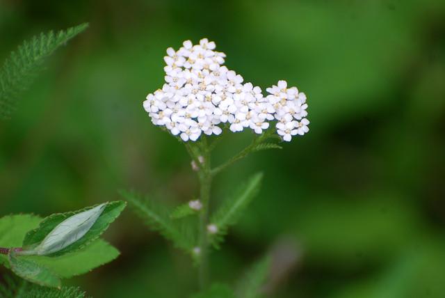 ノコギリソウに白い花が