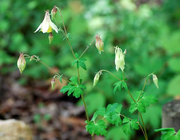 ヤマオダマキの花がきれい
