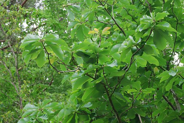 トチノキの大きな葉