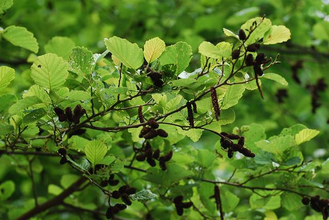 ケヤマハンノキの雄花と雌花