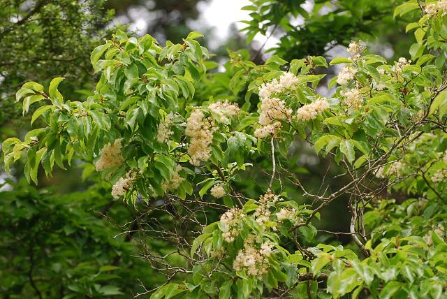 クロミノニシゴリに花が