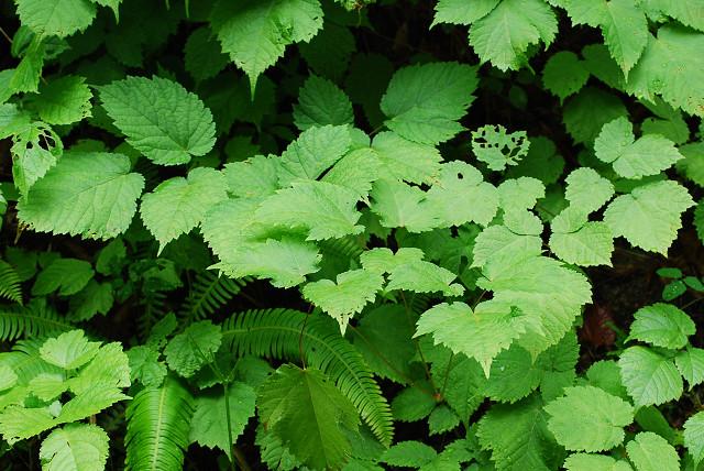 トリアシショウマの葉