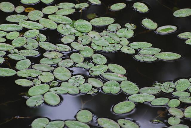 根池のジュンサイ