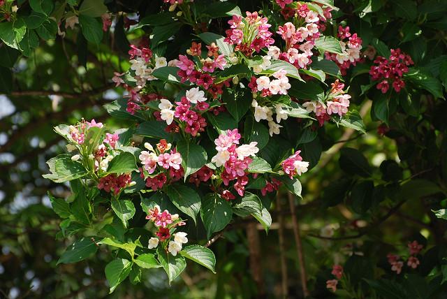 ハコネウツギの花は