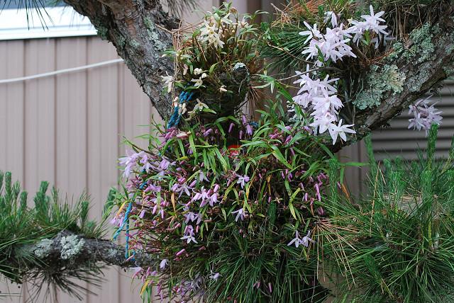 モッコクの花がきれい