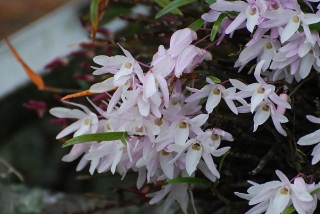 モッコクの白い花