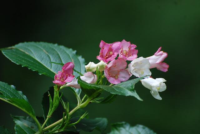 ハコネウツギの花が美しい