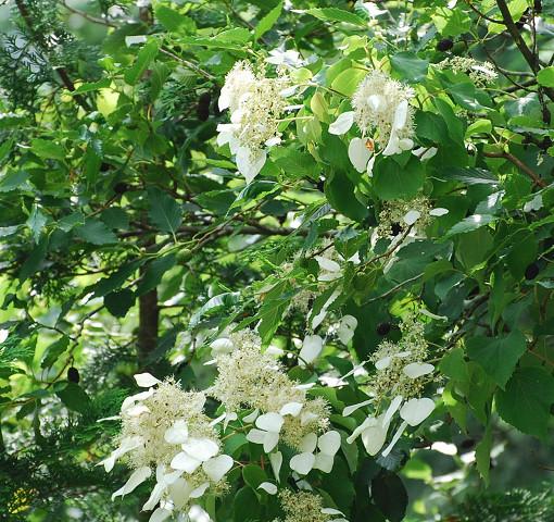 イワガラミの花が