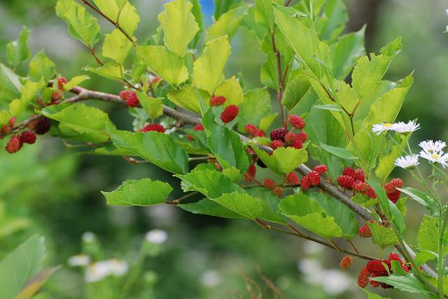 ヤマグワに赤い実が