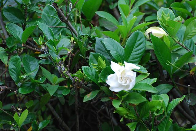 クチナシの白い花が