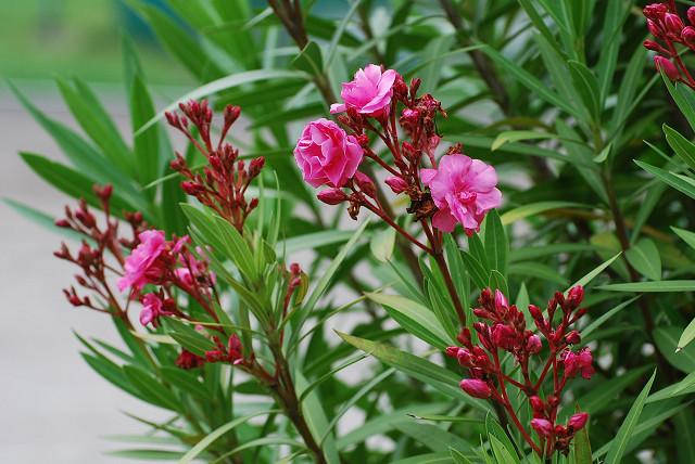 キョウチクトウの八重の花