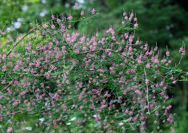 コマツナギの花がいっぱい