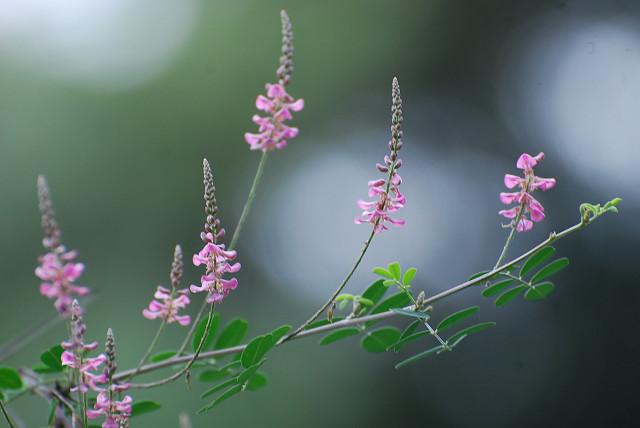 コマツナギの花が美しい