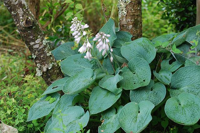庭のオオバギボウシに花が