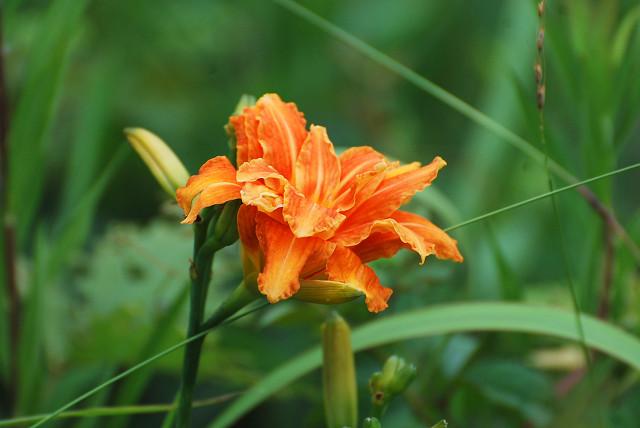 ヤブカンゾウ開花