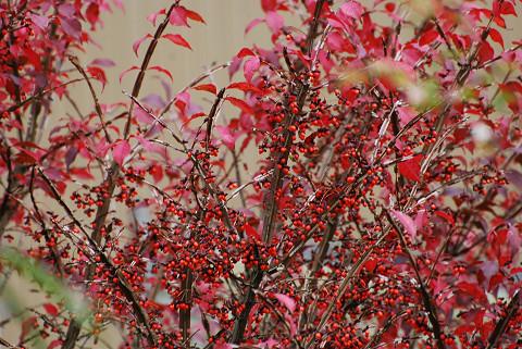 ニシキギの紅葉と実